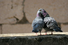 Love. Two pigeons kissing on a wall Stock Photo