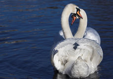 Love. Two swans forming the shape of heart Stock Photography
