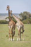 Love and affection. This must be love. Two Giraffes, Masai Mara National Reserve, Kenya, East Africa stock photography
