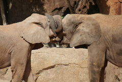 Love of the African Bush Elephant - Loxodonta africana Stock Images