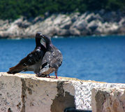 Love is in the air. Two pidgeons kissing in Dubrovnik Royalty Free Stock Photography