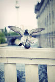 Pigeons mating Royalty Free Stock Photos