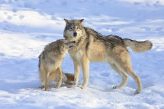 Love is in the air. Male and female Tiber wolves show affection Royalty Free Stock Images