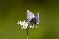 Love is in the air. Butterfly mating dance. The Melissa Blue (Lycaeides melissa) is a butterfly of the Lycaenidae family. It is found in Western North America Stock Photography
