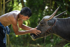 Love animal. Man love animal buffalo Asia Stock Image