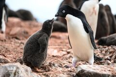 Adelie penguin mother and cute grey fluffy chick looking tender, - Pygoscelis adeliae - wildlife at Paulet Island, Antarctica