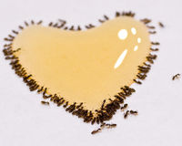 The Love of Ants Stock Images