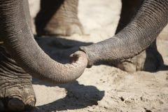 Love Between Elephants Royalty Free Stock Photography