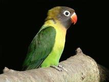 Love Bird. An image of a beautiful love bird Royalty Free Stock Image