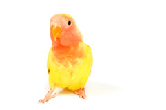 Love bird. In front of a white background royalty free stock images