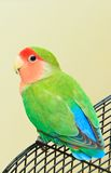 Love Bird. A peach faced love bird contemplating whether to it should fly off or not Royalty Free Stock Images