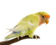 Love bird Stock Photos