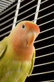 Love bird. In front of a black background Stock Images