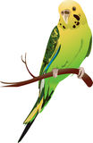 Budgerigar. Sitting on a branch of tree Royalty Free Stock Image