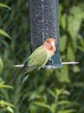 Love Bird at a Backyard Bird Feeder  2. Escaped Love Bird at a Backyard Bird Feeder  2 Royalty Free Stock Photos