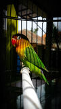 Love bird. In a cage Royalty Free Stock Photography