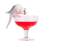 Love Bird on Cocktail. Photo of a white love bird on bright red cocktail. PNG Format have transparency on glass parts of the picture. The photo is isolated on Stock Photos