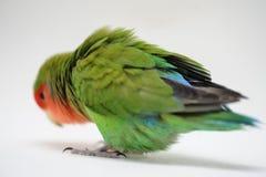 Love bird. Domestic love bird agapornis roseicollis Royalty Free Stock Photos