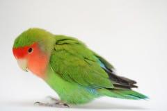 Love bird. Domestic love bird agapornis roseicollis Royalty Free Stock Images
