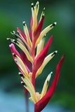 The love bird flower. The love bird flower have red and yellow bright color Stock Photography