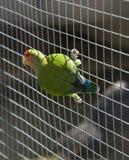 love-bird Melocotón-hecho frente (roseicollis de Agaporuis) Imagenes de archivo