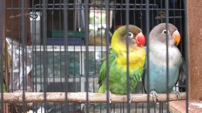 Love bird. In my country their name Love Bird Stock Images