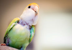 Love Bird Perched. On shoulder and looking around Royalty Free Stock Photos