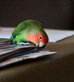 Love bird. Playing with paper Royalty Free Stock Photo