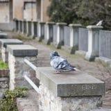Love bird. Two lovely white doves kissing Royalty Free Stock Photo
