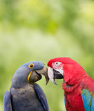 Love Birds. Two parrots looking into eachother's eyes Royalty Free Stock Photos