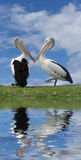 Love birds. Two pelicans joining beaks and their reflection royalty free stock image