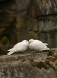 Love Birds. Two white pigeons cuddling at a castle in England stock image