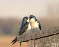 Love Birds Royalty Free Stock Photos