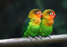 Love birds , Agopornis fischeri. A pair of love birds , Agopornis fischeri Stock Photos