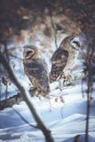 Love birds barn owls Stock Image