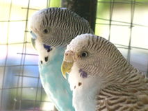 Love birds. Close up picture of 2 love birds Stock Photo