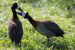 Love birds. Cute loving animal couple. Affectionate bonding pair. Of white-faced whistling ducks Dendrocygna viduata kissing as they groom Royalty Free Stock Images