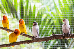 Love birds. Group of colorful love birds Stock Image