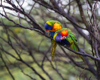 Love birds keeping it clean Royalty Free Stock Photography