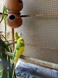 Love birds. Lovebirds yellow with green Royalty Free Stock Image