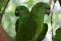 Love Birds. Parrots sitting together on a branch Royalty Free Stock Photo
