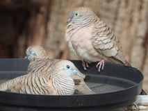 Love birds Peaceful Doves resting in the feed bowl. Peaceful Doves waiting for a free feed in outback Australia royalty free stock photos