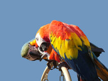 Love Birds Sharing a Candy. Two macaw parrots sharing or fighting over a candy royalty free stock photos