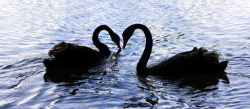 Love Birds On Swan Lake Royalty Free Stock Photography