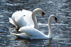 Love Birds Swans. A male and female  swan swimming in a lake during the early spring Royalty Free Stock Images