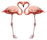 Love birds on white. Flamingos making a heart shape on white Royalty Free Stock Photos