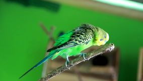Love birds, who are chatting on wooden branches in a romantic way. Beautiful green parrot lovebird on colorful nature background stock video