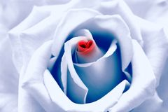 Love birth: blue toned rose. Love birth. Light blue toned rose with red heart symbol from petal in center. Look like I love you message where love replaced by Stock Photo