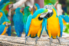 A love bite or a kiss?? Pair of colorful Macaws interacting. Royalty Free Stock Photography