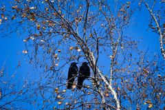 Love in black preparing for flying away togheter. Two ravens pose in a dry branch looking forward the blue sky before leave during the autumn in the province of Royalty Free Stock Image